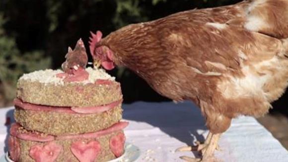 Găinuţa salvată dintr-o fermă suflă acum în tortul aniversar - VIDEO