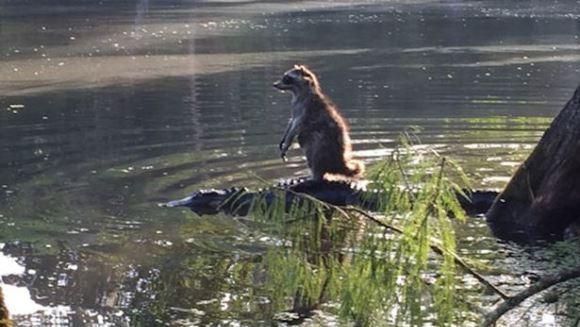 Un raton tocmai a descoperit cel mai ecologic mijloc de transport: aligatorul răbdător