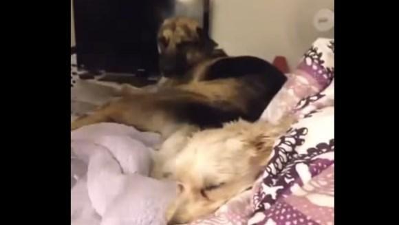 Cum să dormi, când fratele tău dă din coadă, chiar în capul tău – VIDEO