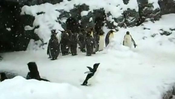 Adevăratul dans al pinguinului te va face să râzi în hohote – VIDEO