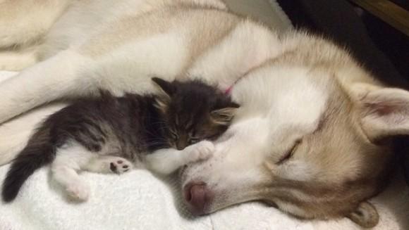 Au crezut că pisicuța lor era pe moarte, dar a salvat-o proaspăta mămică Husky - Galerie Foto