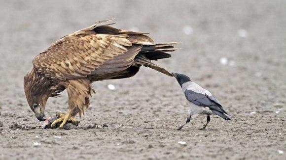 Ciori care sabotează animalele, ciupindu-le de coadă – Foto și Video