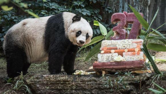Jia Jia a intrat în Cartea Recordurilor, pentru cel mai vârstnic panda din lume