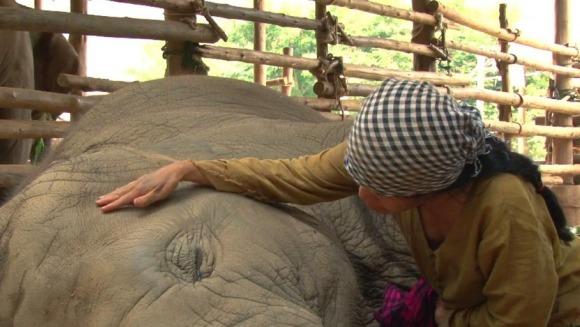 Impresionant: cântecul de leagăn al elefantului Faa Mai – VIDEO