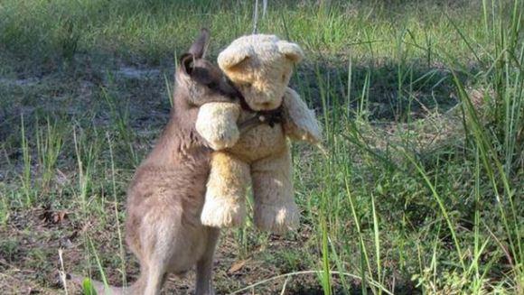 """""""Tu eşti mămica mea?"""" Imagini înduioşătoare cu un wallaby orfan îmbrăţişând un ursuleţ de pluş"""