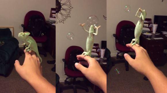 Şopârla care iubeşte să spargă baloane de săpun – VIDEO