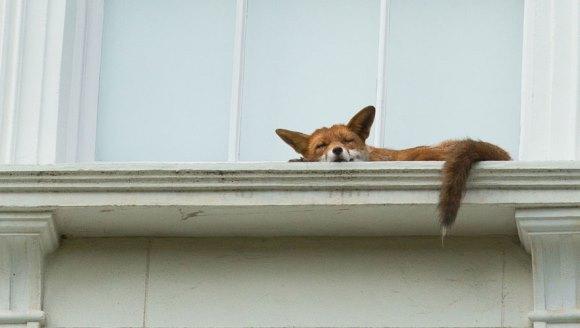 O vulpe s-a urcat pe o clădire din Londra, să tragă liniştită un pui de somn