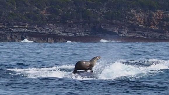 Diii, balena! Foca ce a ieșit la plimbare pe spatele unei balene