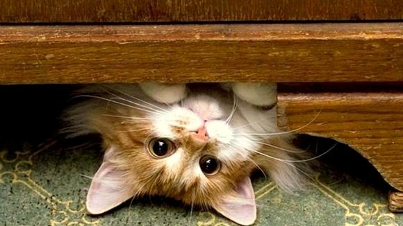 """Ooops! Pisici care nu stau foarte bine la capitolul """"logică"""" - Galerie Foto"""