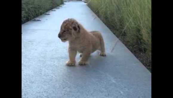 Cum sună cel mai dulce urlet al unui leu? Ne arată puiuțul din imagine – VIDEO