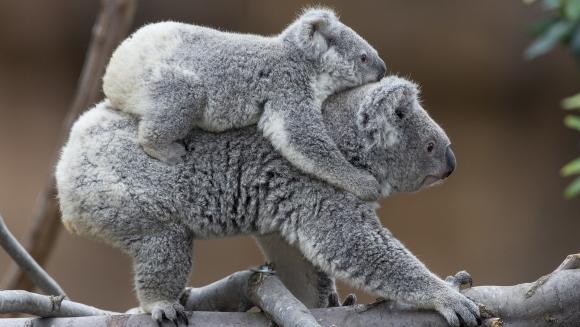 Cele mai drăgălaşe fotografii cu koala, din toate timpurile – Galerie Foto