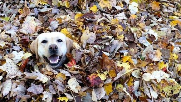 Câinele acesta iubeşte frunzele mai mult decât orice pe lume – VIDEO