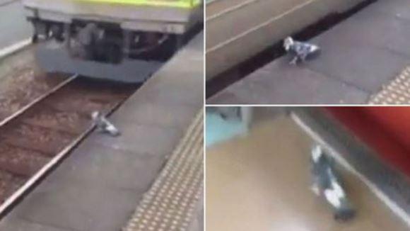 Cea mai leneşă pasăre: de ce să mai zbori, când te poţi deplasa cu trenul…? VIDEO
