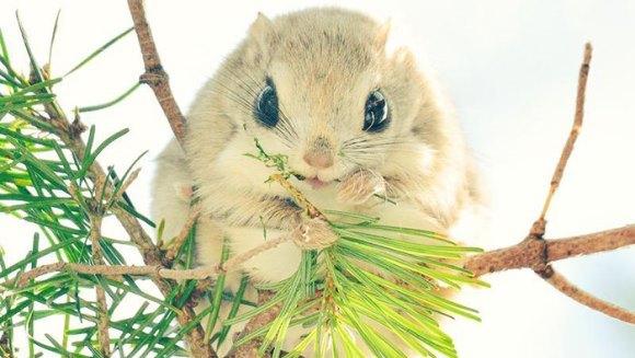 Veveriţele zburătoare, cele mai simpatice animale de pe pământ - Galerie foto