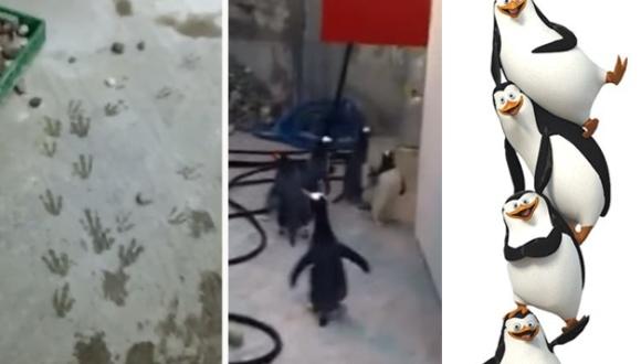 Un grup de pinguini a încercat să evadeze dintr-o grădină zoologică. Să se fi uitat la Madagascar? VIDEO