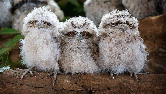 Cele mai drăguţe animăluţe pufoase! Nu, nu sunt bufniţe! - Galerie Foto