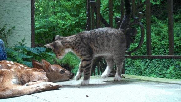 Pisicuţa care face tot ceea ce îi stă în putere, pentru a atrage atenţia puiului de căprioară – VIDEO