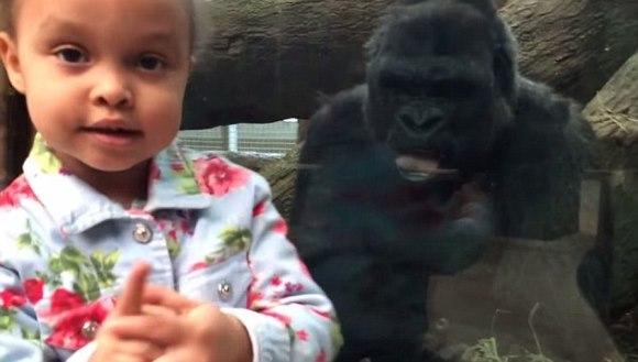 Gorila de la zoo învaţă fetiţa să arate un semn obscen – VIDEO