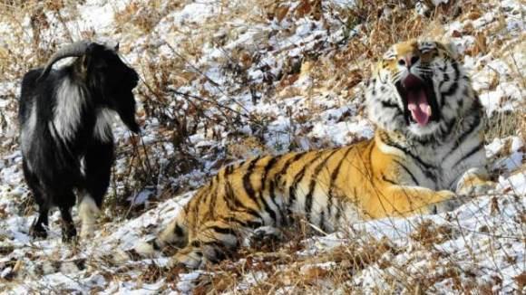 Tigrul care s-a împrietenit cu… prânzul! VIDEO
