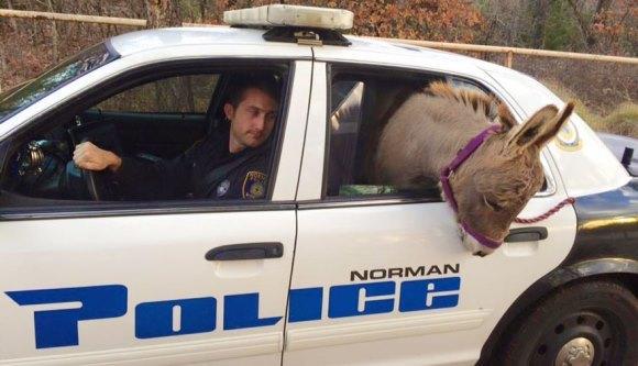 A salvat măgarul, l-a transportat cu maşina poliţiei, iar el… ce credeţi că a făcut pe bancheta din spate?