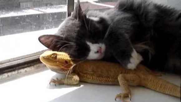 Când iguana şi pisica se îmbrăţişează sub razele soarelui… VIDEO