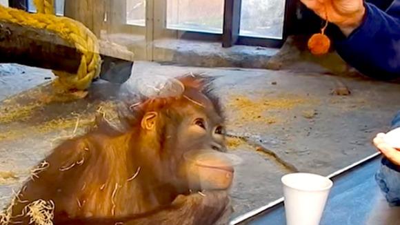 Cum reacţionează o maimuţă, faţă în faţă cu un truc magic – VIDEO