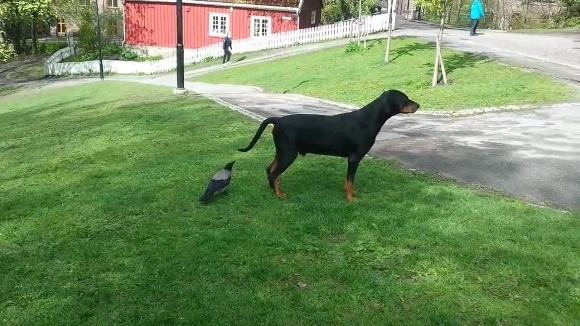 Cioara şireată a ciupit câinele de coadă. Reacţia lui e nepreţuită! VIDEO
