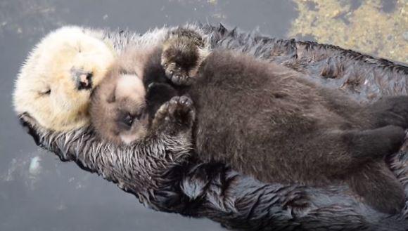 Cel mai dulce clip al săptămânii: un puişor de vidră de doar o zi adoarme în braţele mamei, pe apă – VIDEO