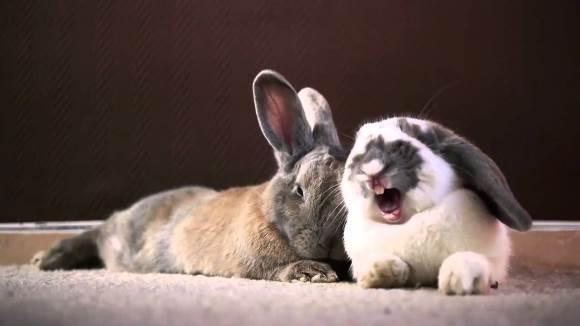Iepuraşii somnoroşi – cea mai tare compilaţie cu iepuraşi căscând – VIDEO