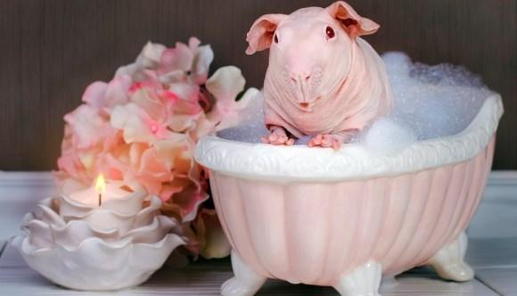 Un porcuşor de guineea a pozat aproape gol într-o cadă cu spumă (Galerie Foto)