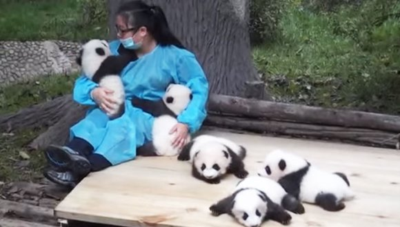 Cea mai tare meserie din lume: primeşti 3200 de dolari pe lună, pentru a îmbrăţişa urşi panda