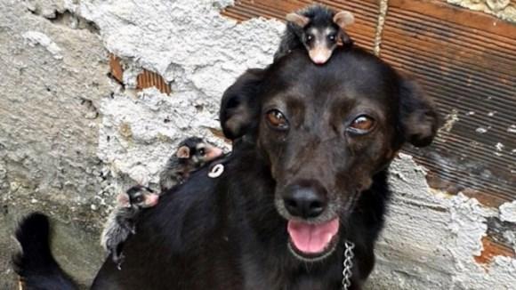 Pui de oposum, adoptaţi de o căţeluşă - Galerie Foto