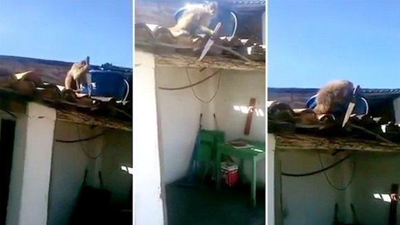 O maimuţă beată ameninţă clienţii unui bar din Brazilia cu un cuţit – VIDEO