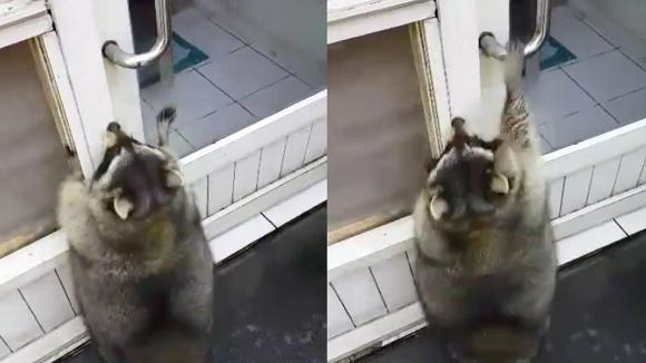 Cum arată cel mai gras raton din lume, încercând să deschidă o uşă prea înaltă pentru el – VIDEO