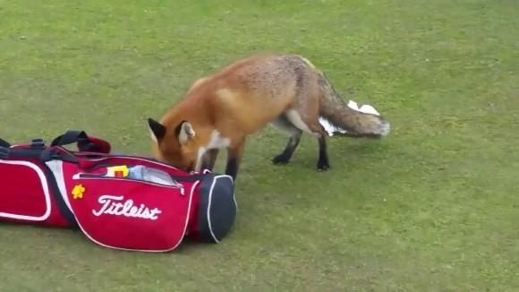 Când nici vulpea nu îşi schimbă năravul: fură portofelele jucătorilor de golf – VIDEO
