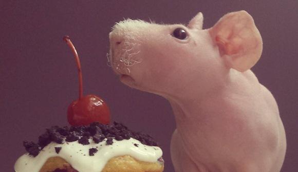 Cel mai fotogenic porcuşor de guineea: pozează dezbrăcat, cu mâncarea lui preferată - Galerie Foto