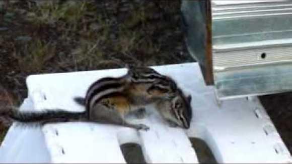 Cum reacționează o mamă veveriță, disperată că puiul nu vrea să se bage la somn – VIDEO