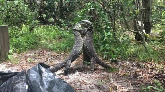 S-a lăsat cu knock out în junglă. Bătălia dintre două șopârle – VIDEO