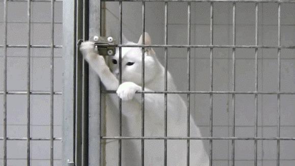 Genial: cum reușește o pisică maestră în evadări să scape din două cuști – VIDEO