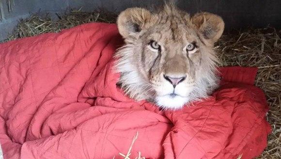 Povestea lui Lambert, leul african care nu doarme fără păturică