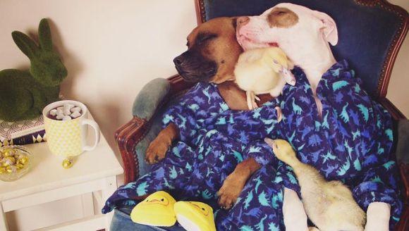 Prietenia uluitoare dintre doi câini și două rățuște, în imagini savuroase