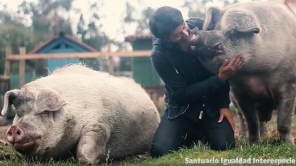 Cei mai râzgâiați porci giganți: iubesc îmbrățișările omului care i-a salvat de la moarte – VIDEO