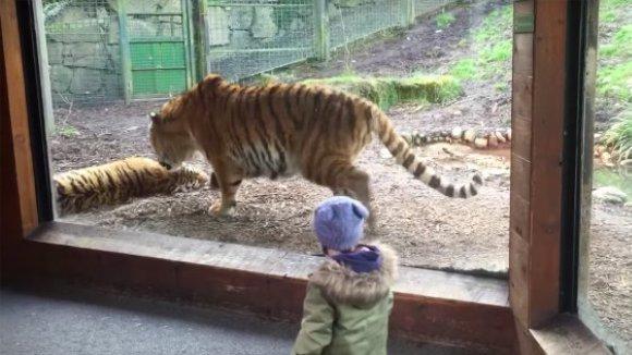 Acest copil a învățat că nu este deloc bine să trezești un tigru care tocmai a ațipit. Chiar dacă ești tigru – VIDEO