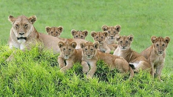 Portretul perfect de familie: cum a fost fotografiată o leoiacă, alături de 8 pui - Galerie foto