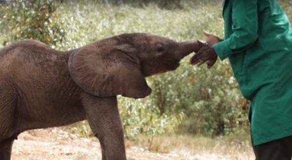 Un pui de elefant orfan primește un binemeritat masaj la trompă – VIDEO