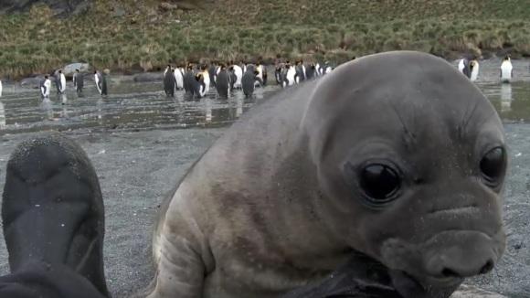 Un adorabil pui de focă-elefant își salută noul prieten uman – VIDEO
