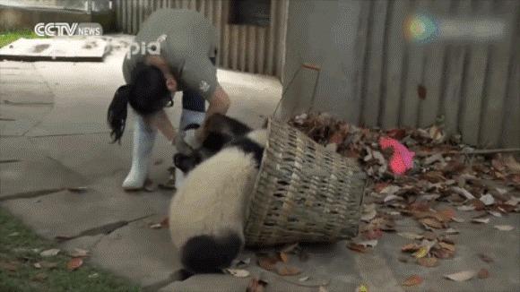Când urșii panda nu sunt doar simpatici, ci și extrem de încăpățânați – nu își lasă îngrijitorii să le curețe țarcul – VIDEO