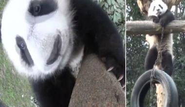 Un urs panda a devenit vedetă pe internet, după ce ne-a arătat ce face în timpul liber – VIDEO