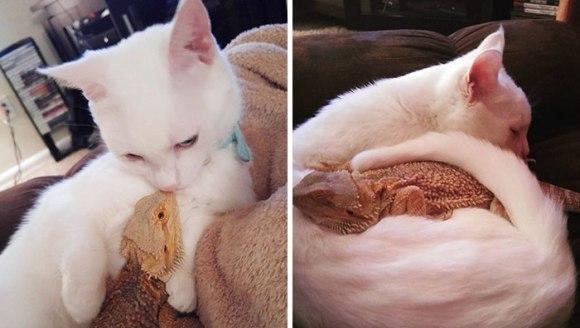 Pisica și dragonul bărbos – cei mai buni și drăgălași prieteni din lume - Galerie Foto