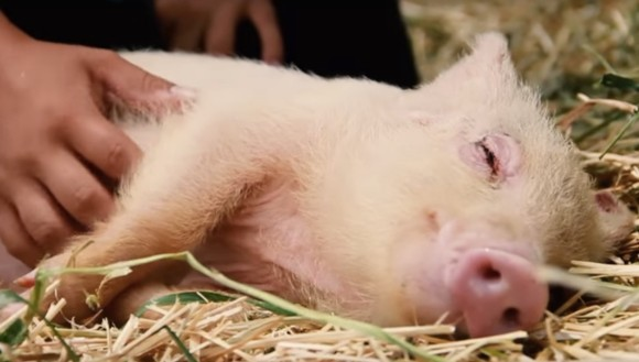 Somn ușor! Cele mai drăgălașe animăluțe de fermă surprinse în timp ce... ațipeau! VIDEO